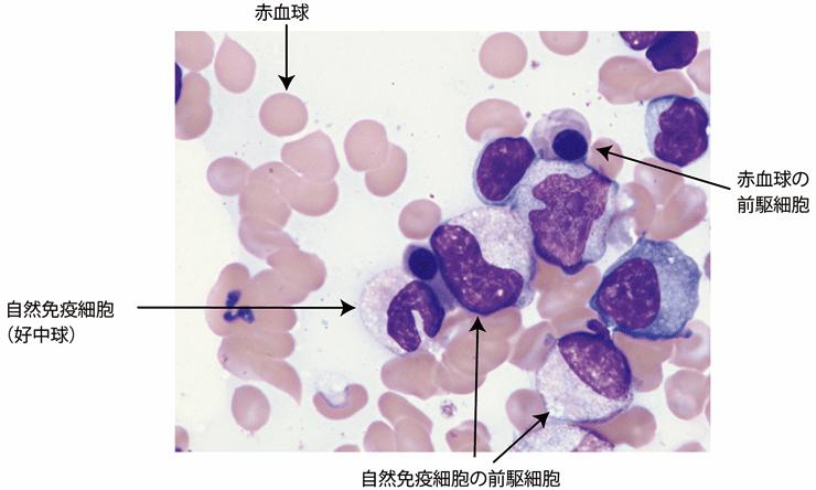 図1.ヒト骨髄における造血像