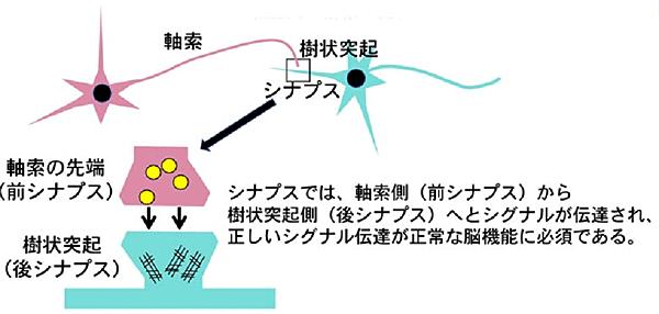 神経細胞の形態