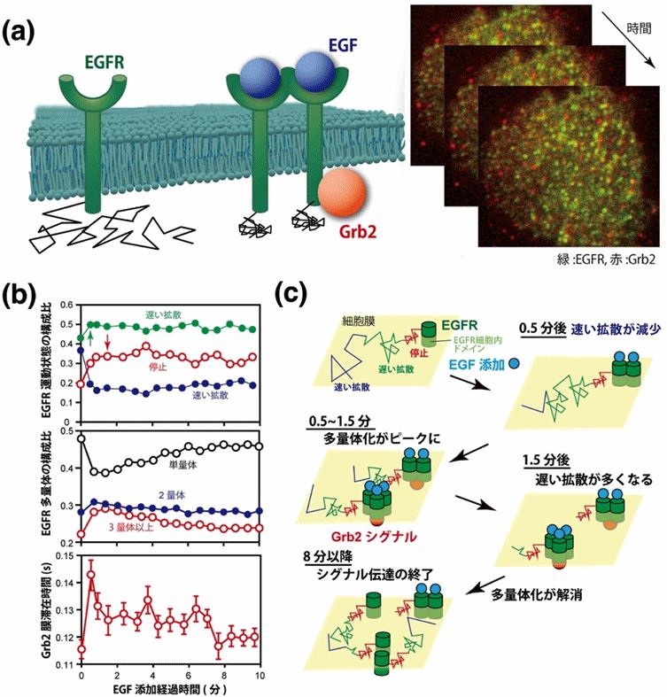 図4 EGF受容体(EGFR)とアダプタータンパク質Grb2の2色1分子イメージング