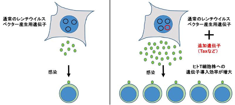 レンチウイルスベクターの産生を飛躍的に増大させる方法を開発―遺伝子 ...