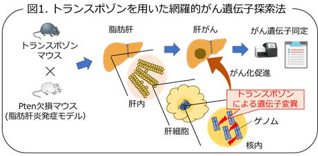 図1 トランスポゾンを用いた網羅的がん遺伝子探索法