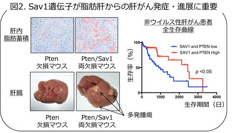 Sav1遺伝子が脂肪肝からの肝がん発症・進展に重要