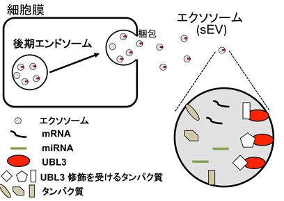 図1 ユビキチン様タンパク質UBL3による修飾とエクソソームの関係図