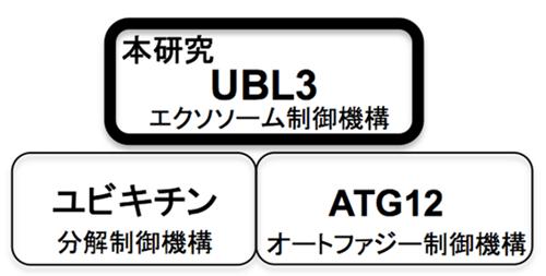 図2 ユビキチン様タンパクを介した翻訳後修飾による制御機構
