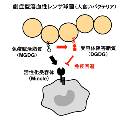 人 喰い バクテリア