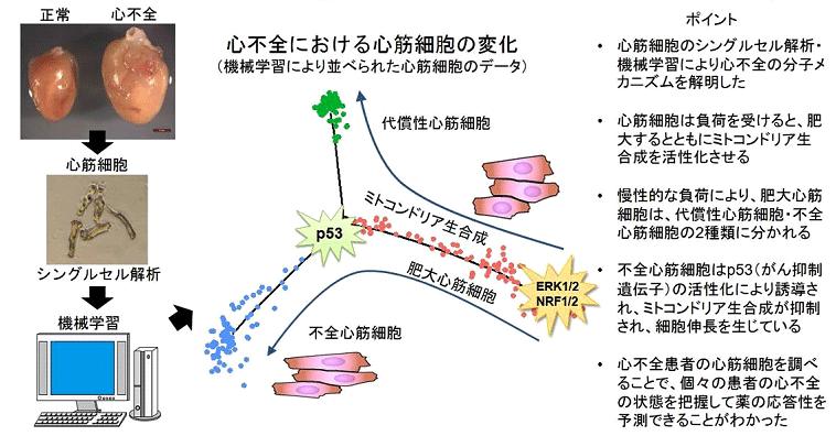 図1.シングルセル解析と機械学習により心不全発症のメカニズムを解明