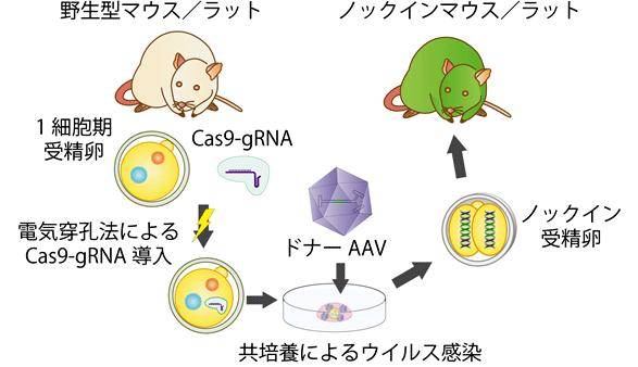 図1_本研究の概略図