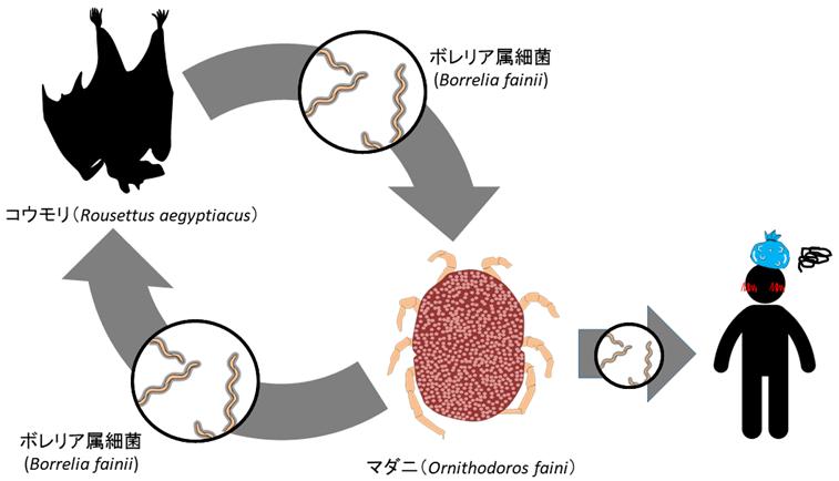 図1.Borrelia fainiiの感染様式
