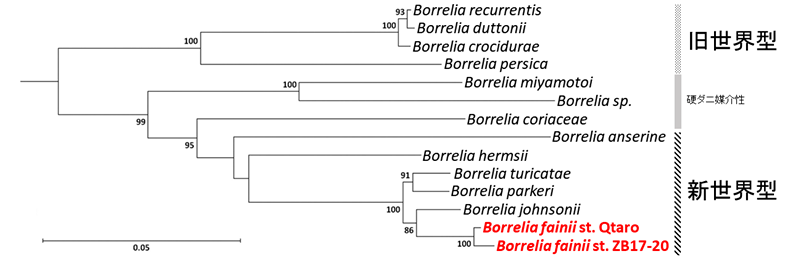 図2_Borrelia fainiiの分子系統学的解析