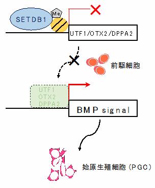 SETDB1の作用機構