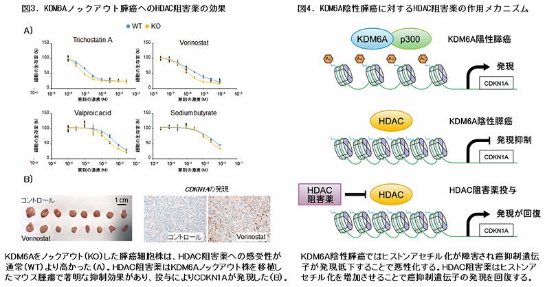 図3.KDM6Aノックアウト膵癌へのHDAC阻害薬の効果 図4.KDN6A陰性膵癌に対するHDAC阻害薬の作用メカニズム