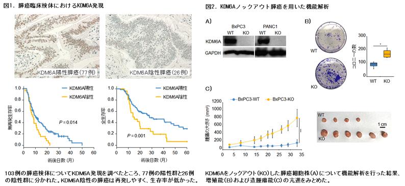 図1.膵癌臨床検体におけるKDM6A発現 図2.KDM6Aノックアウト膵癌を用いた機能解析
