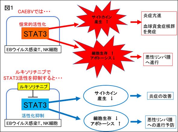 図1 EBウイルスに感染したT細胞、NK細胞が増えにくく、死にやすくなるとともに、炎症原因物質であるサイトカイン(用語説明3)の産生が抑制される