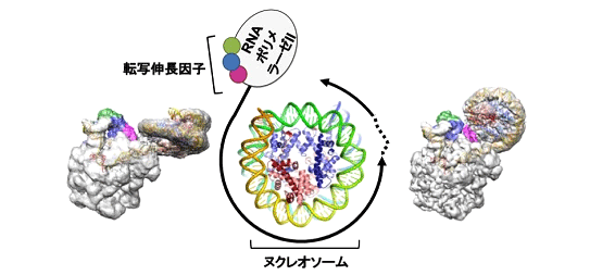 図:ヌクレオソームDNAの転写(中央の模式図)を捉えたクライオ電子顕微鏡像(左と右)