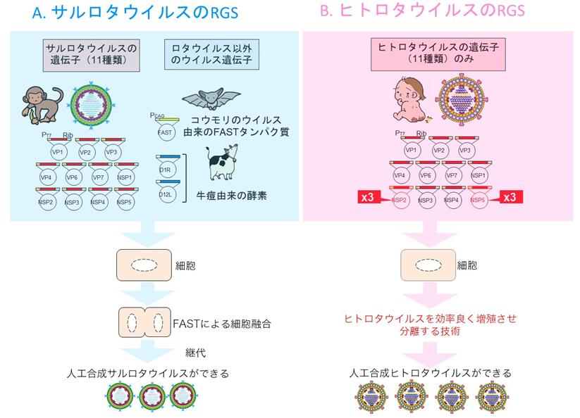 図1 サルロタウイルスのリバースジェネティクス、ヒトロタウイルスのリバースジェネティクス