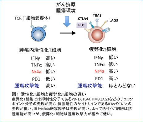 図1 活性化T細胞と疲弊化T細胞の違い 疲弊化T細胞では抑制分子であるPD-1、CTLA4、TIM3、LAG3などのチェックポイント分子の発現が高く、抗腫瘍性のサイトカインであるIFNγTNFαの発現が低い。またNR4a転写因子は発現が高い。よって活性化T細胞は抗腫瘍能が高いが、疲弊化T細胞は腫瘍攻撃力が極めて低い。