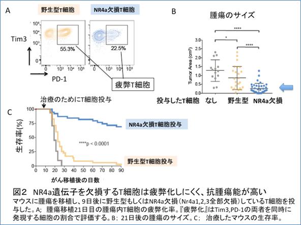 図2 NR4a遺伝子を欠損するT細胞は疲弊化しにくく、抗腫瘍能が高い マウスに腫瘍を移植し、9日後に野生型もしくはNR4欠損(Nr4a1、2、3全部欠損)しているT細胞を投与した。A;腫瘍移植21日目の腫瘍内T細胞の疲弊化率。『疲弊化』はTim3、PD-1の両者を同時に発現する細胞の割合で評価する。B;21日後の腫瘍サイズ。C:治療したマウスの生存率。
