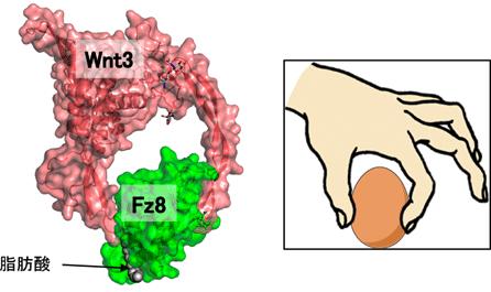 タンパク質 の 立体 構造