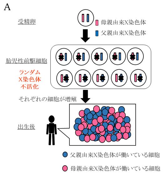 胎児の出生を可能とする染色体数の自然修復は、受精後数日に集中―胚の ...