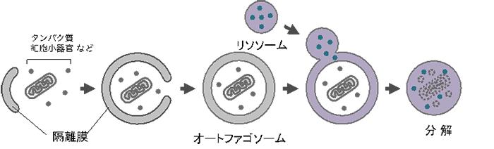 オートファジーの説明図
