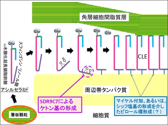 プレスリリース「皮膚バリアの形成に必須なセラミドの結合メカニズムを解明」参考図2