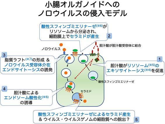小腸オルガノイドへのノロウイルス侵入モデル