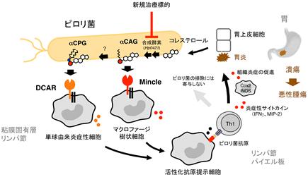「ピロリ菌が胃炎を引き起こすメカニズムを解明」概要図