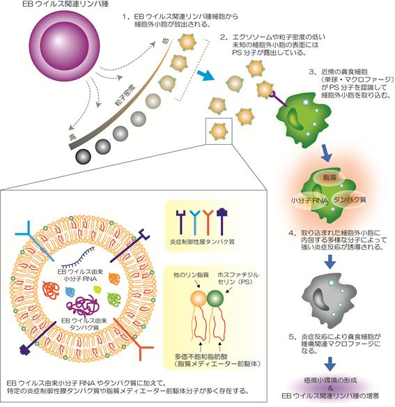 EBウイルス関連リンパ腫由来細胞外小胞に含まれる多様な炎症制御性分子 ...